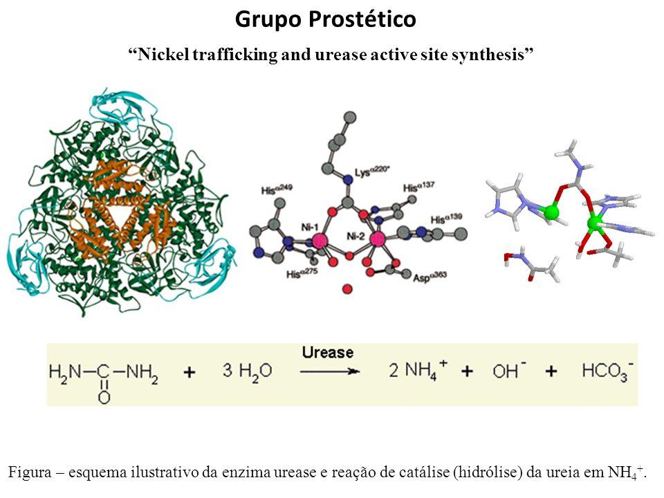 Grupo Prostético Figura – esquema ilustrativo da enzima urease e reação de catálise (hidrólise) da ureia em NH 4 +. Nickel trafficking and urease acti