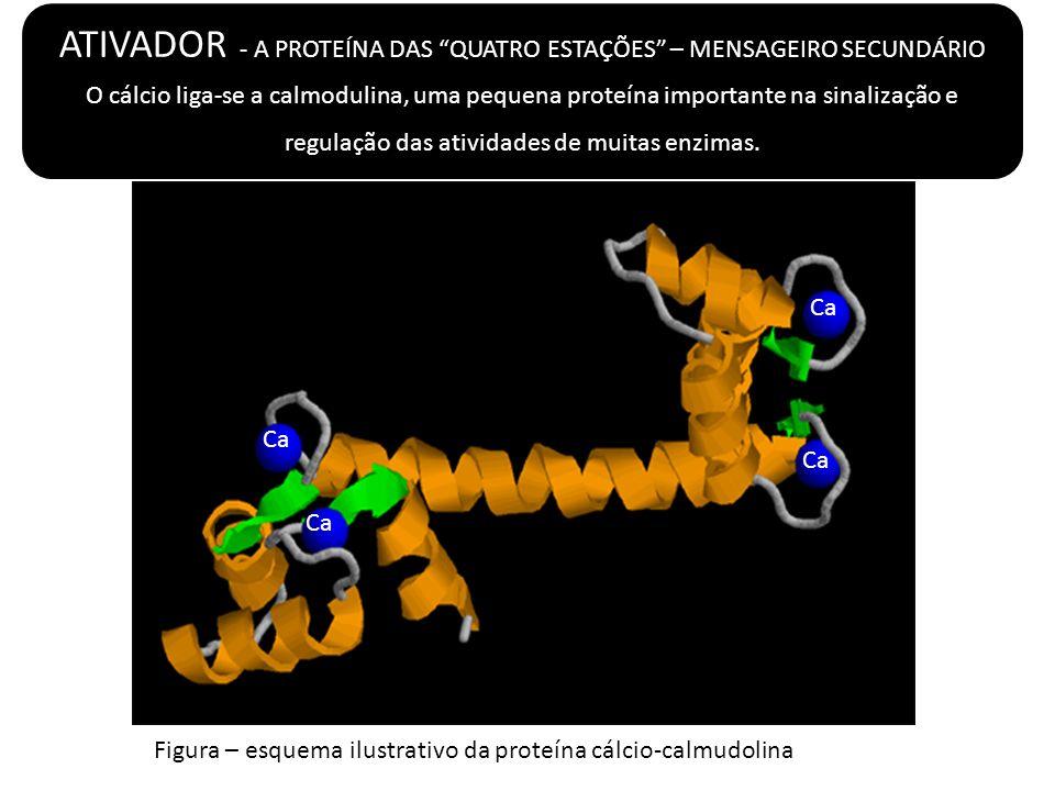 Figura – esquema ilustrativo da proteína cálcio-calmudolina Ca ATIVADOR - A PROTEÍNA DAS QUATRO ESTAÇÕES – MENSAGEIRO SECUNDÁRIO O cálcio liga-se a ca