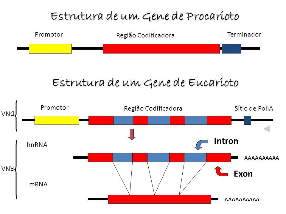 Estrutura de um Gene de Procarioto Promotor Região Codificadora Terminador Promotor Região CodificadoraSítio de PoliA hnRNA AAAAAAAAAA mRNA AAAAAAAAAA