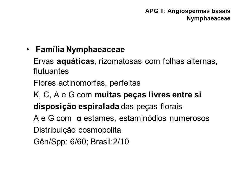 APG II: Angiospermas basais Nymphaeaceae Família Nymphaeaceae Ervas aquáticas, rizomatosas com folhas alternas, flutuantes Flores actinomorfas, perfei