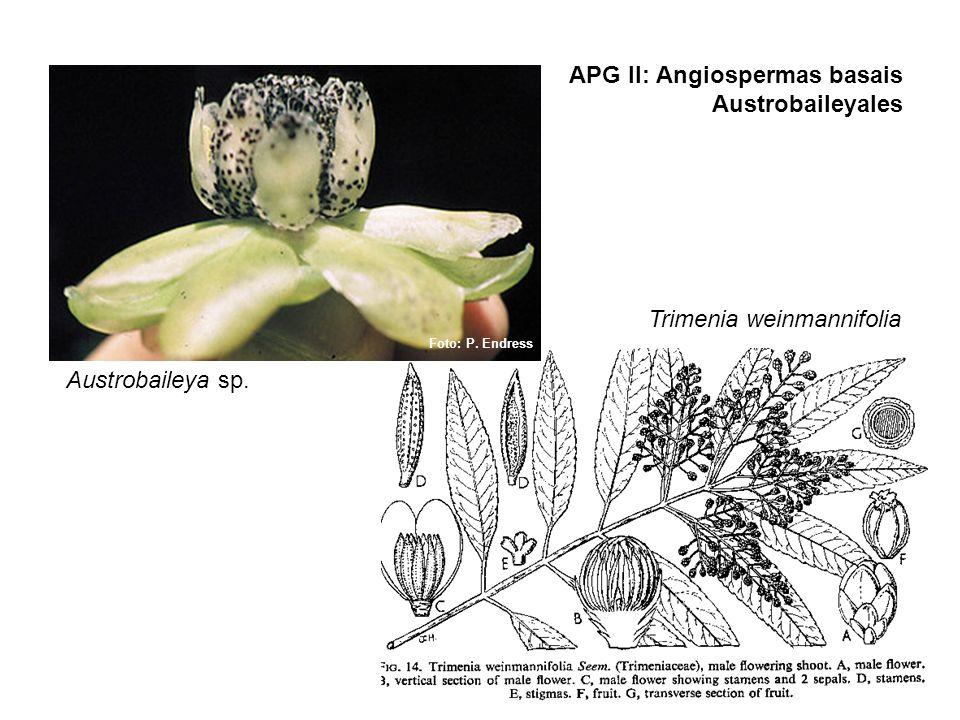 APG II: Angiospermas basais Austrobaileyales Foto: P. Endress Austrobaileya sp. Trimenia weinmannifolia