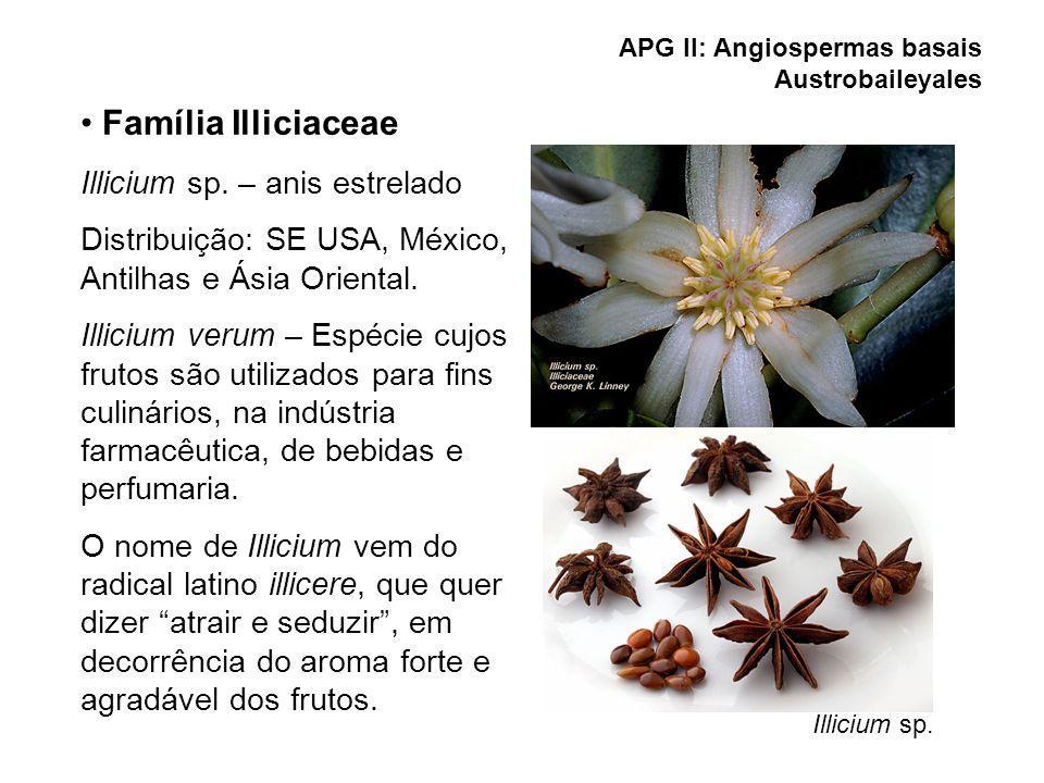 Illicium sp. APG II: Angiospermas basais Austrobaileyales Família Illiciaceae Illicium sp. – anis estrelado Distribuição: SE USA, México, Antilhas e Á