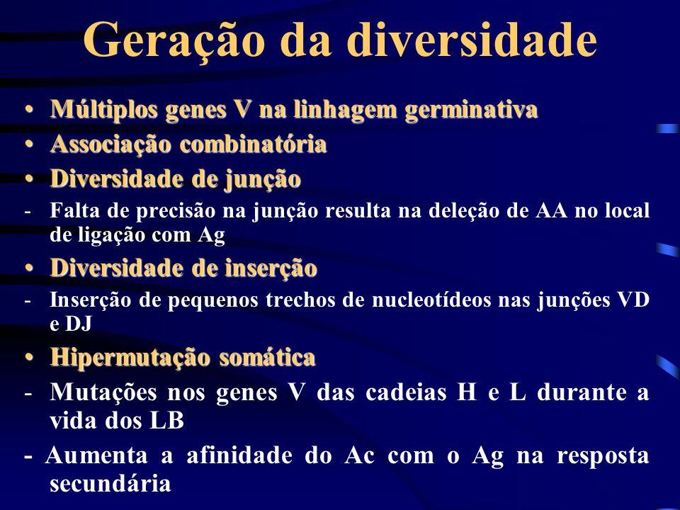 Geração da diversidade Múltiplos genes V na linhagem germinativaMúltiplos genes V na linhagem germinativa Associação combinatóriaAssociação combinatór