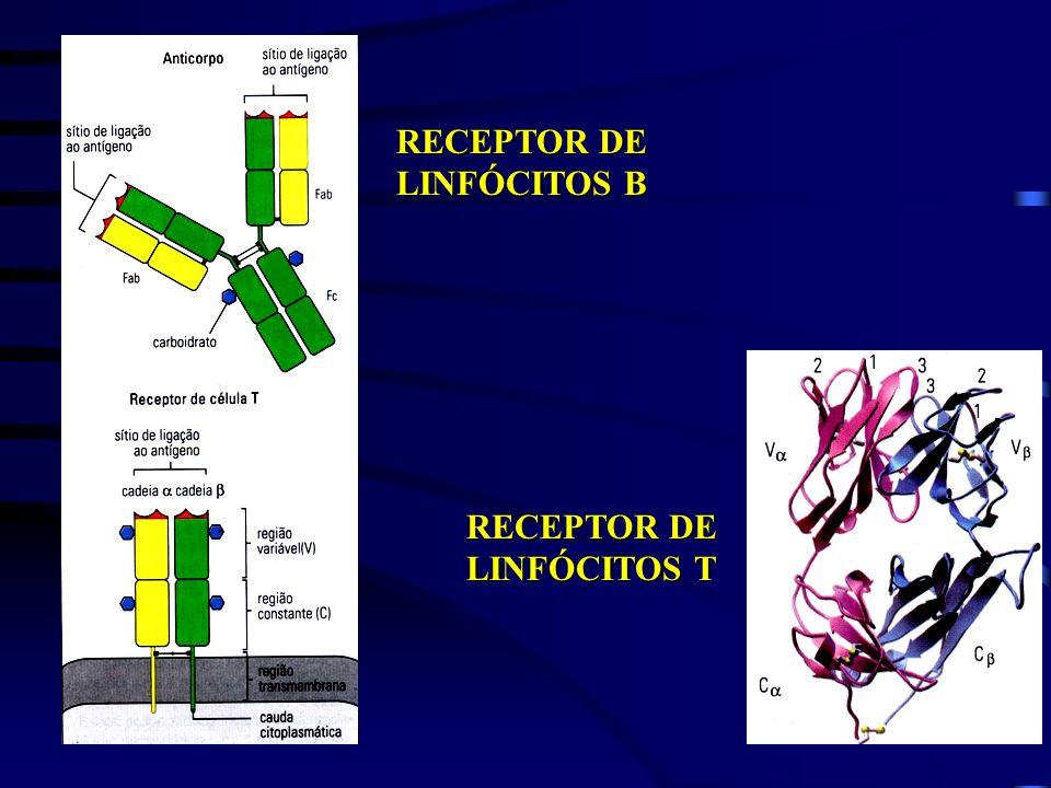 RECEPTOR DE LINFÓCITOS B RECEPTOR DE LINFÓCITOS T