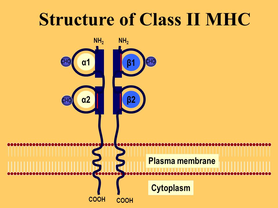 Structure of Class II MHC Plasma membrane Cytoplasm CHO NH 2 COOH α1 α2β2 β1
