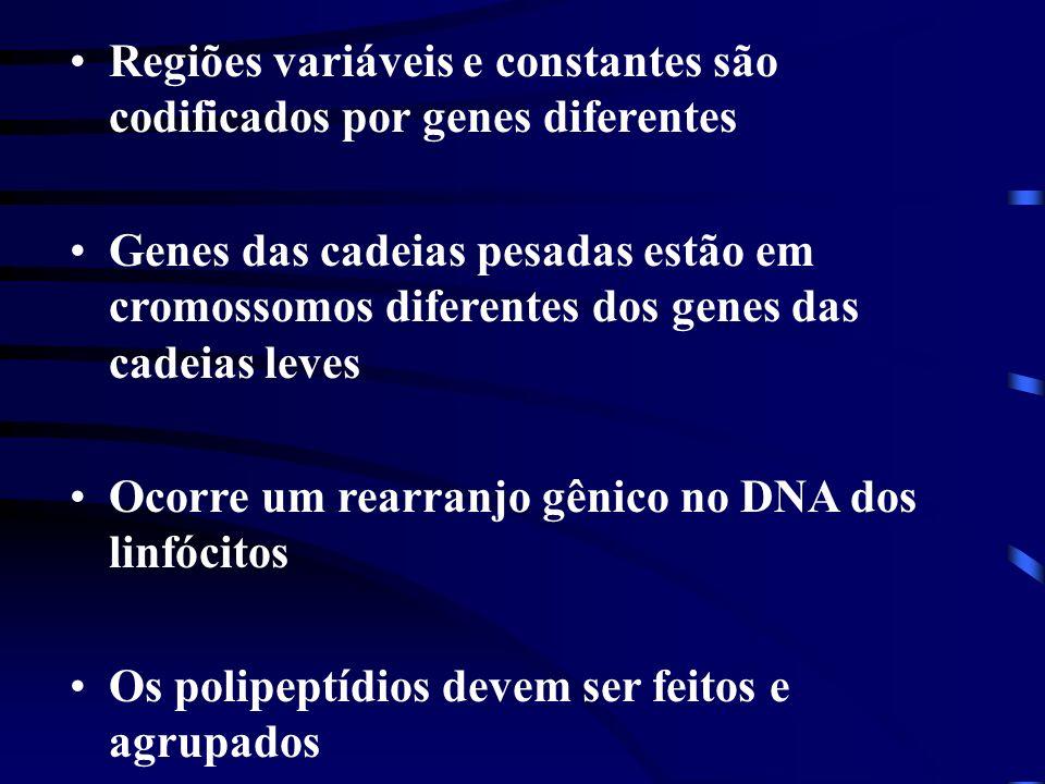 Regiões variáveis e constantes são codificados por genes diferentes Genes das cadeias pesadas estão em cromossomos diferentes dos genes das cadeias le