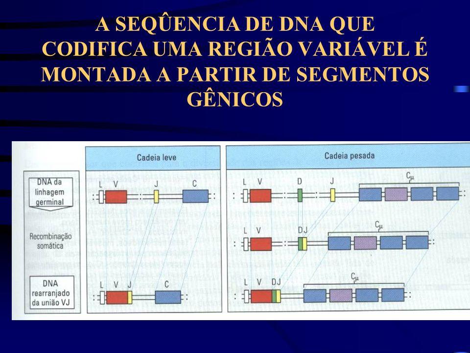 A SEQÛENCIA DE DNA QUE CODIFICA UMA REGIÃO VARIÁVEL É MONTADA A PARTIR DE SEGMENTOS GÊNICOS
