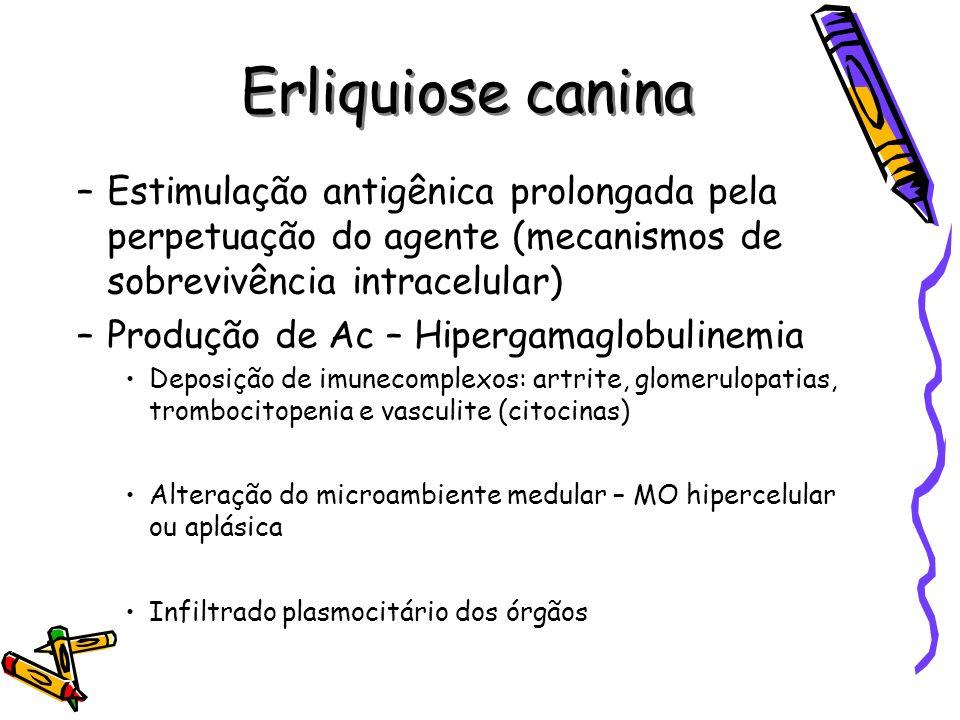 Erliquiose canina –Estimulação antigênica prolongada pela perpetuação do agente (mecanismos de sobrevivência intracelular) –Produção de Ac – Hipergama