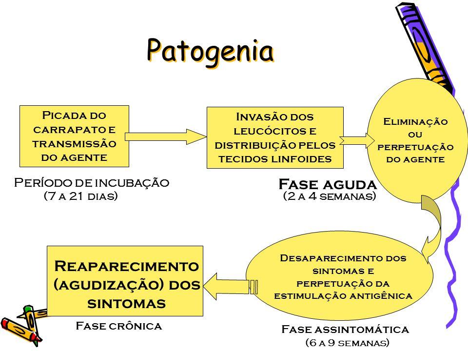 Patogenia Picada do carrapato e transmissão do agente Invasão dos leucócitos e distribuição pelos tecidos linfoides Eliminação ou perpetuação do agent