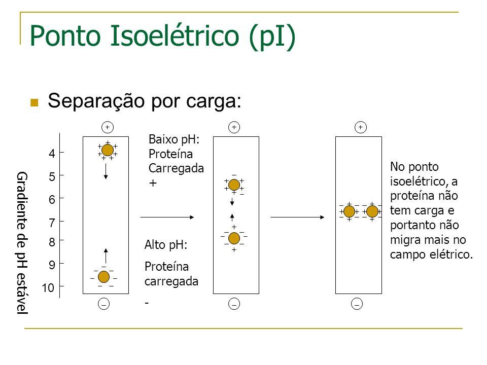 A primeira dimensão (separação por ponto isoelétrico) - Gel com um gradiente de pH imobilizado - Corrente elétrica leva aproteínas carregadas a mover
