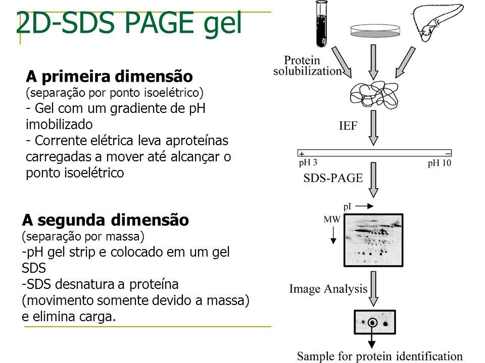 Ponto Isoelétrico (pI) Separação por carga: 4 5 6 7 8 9 10 Gradiente de pH estável Alto pH: Proteína carregada - Baixo pH: Proteína Carregada + No pon