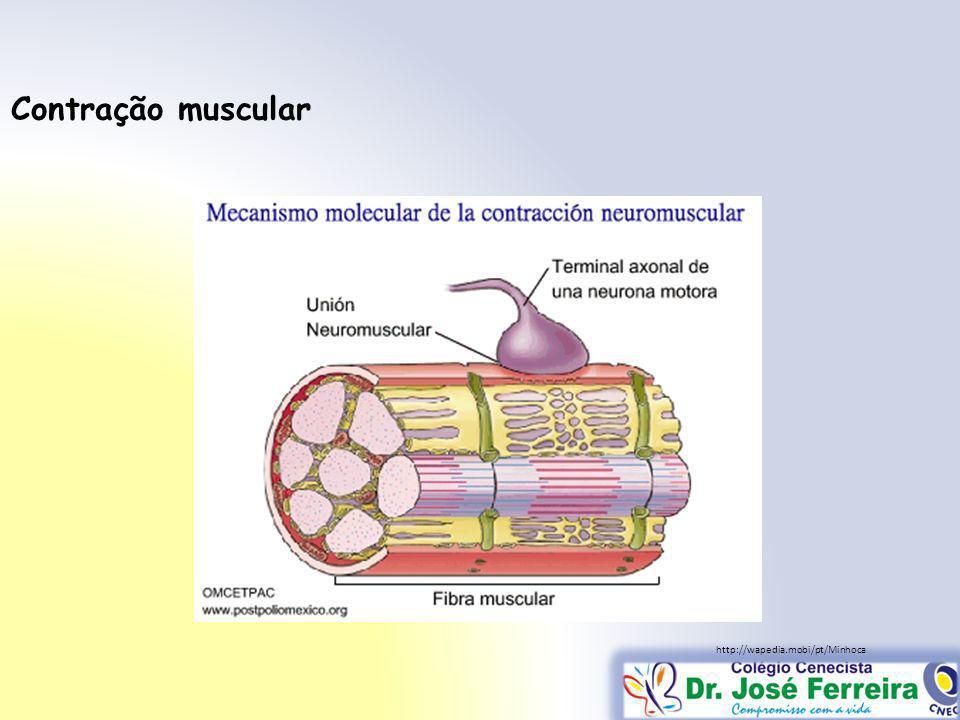 Contração muscular http://wapedia.mobi/pt/Minhoca