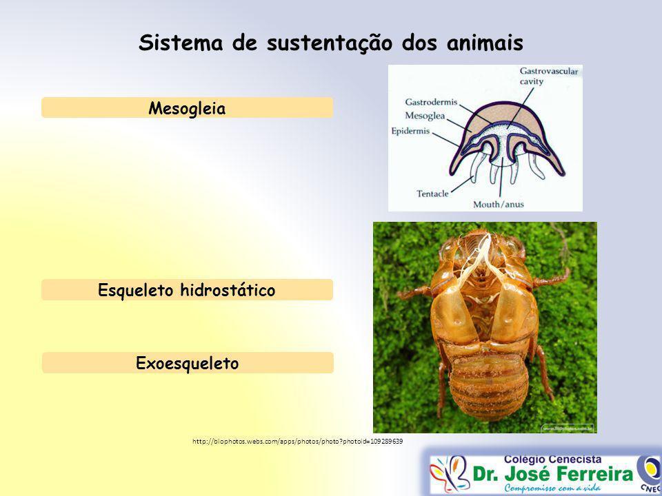 Sistema de sustentação dos animais Mesogleia Esqueleto hidrostático Exoesqueleto http://biophotos.webs.com/apps/photos/photo?photoid=109289639
