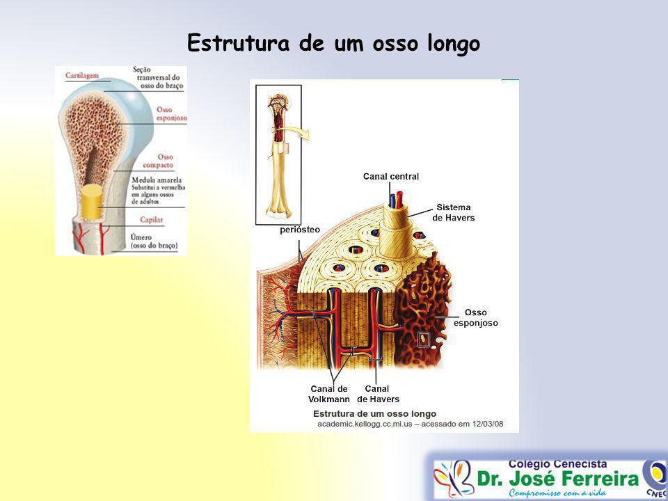 Estrutura de um osso longo