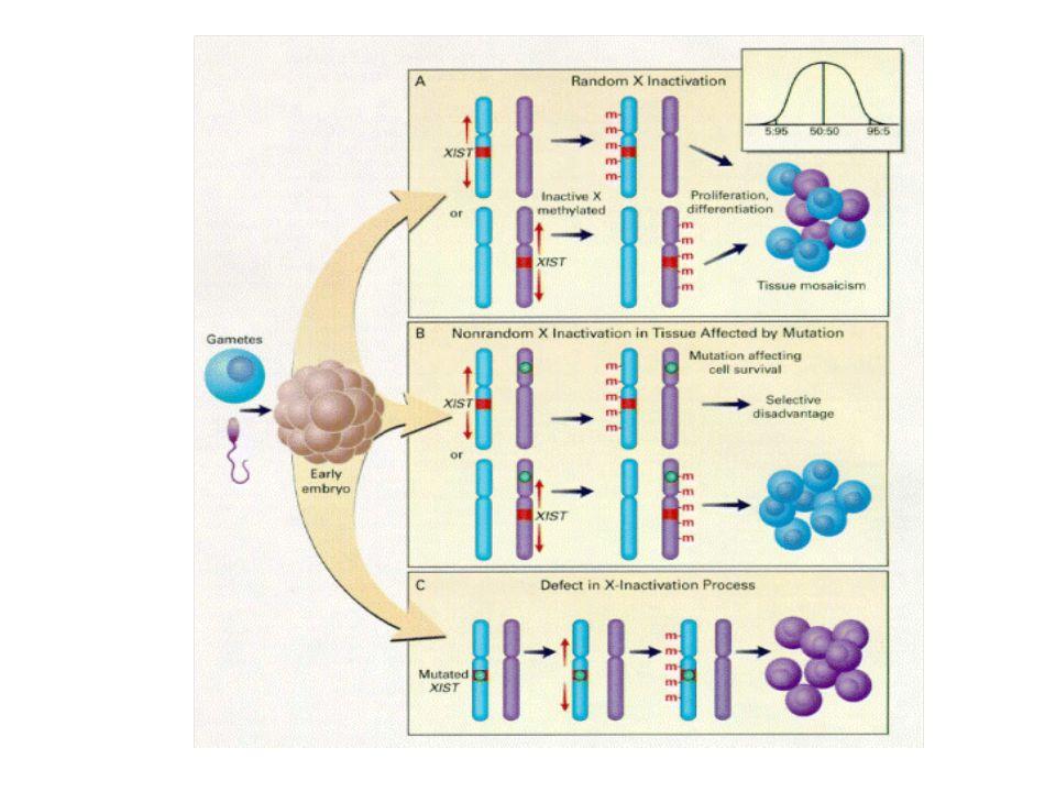 Número de corpúsculos de Barr= nº de cromossomos X por célula - 1 Corpúsculo de Barr