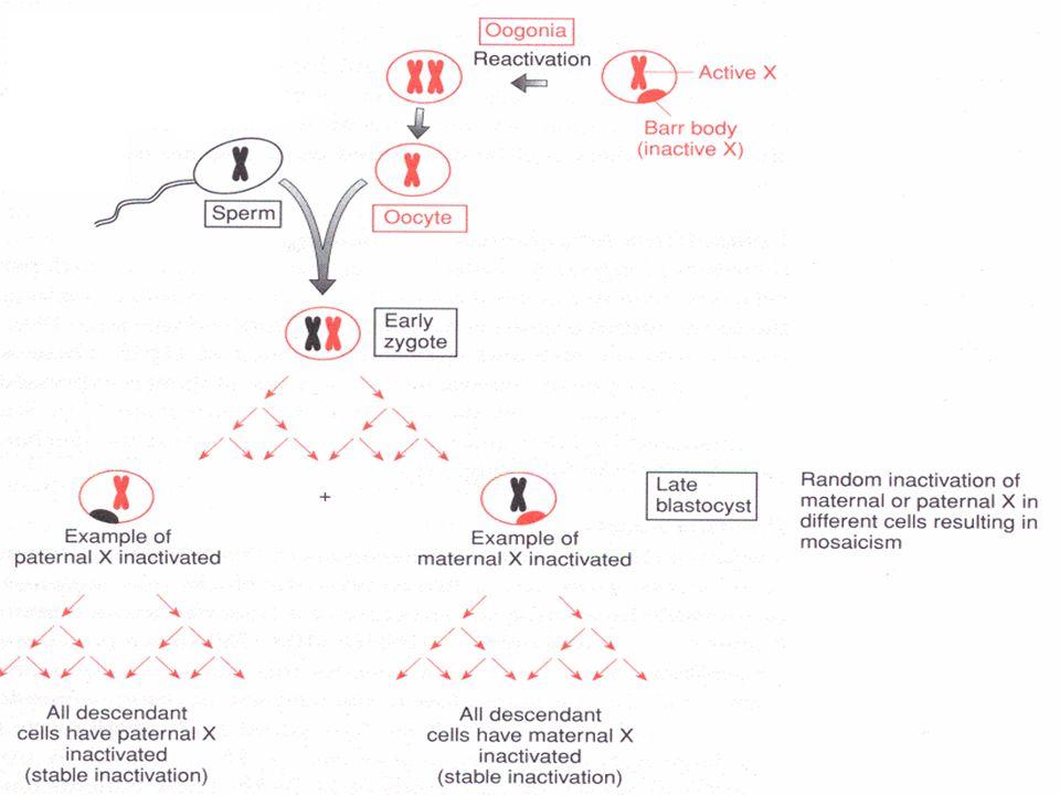 Inativação do X Expressão/silenciamento XIST METILAÇÃOMETILAÇÃO Cromossomo Inativo Cromossomo Ativo EXPRESSÃOEXPRESSÃO XIST Metilação