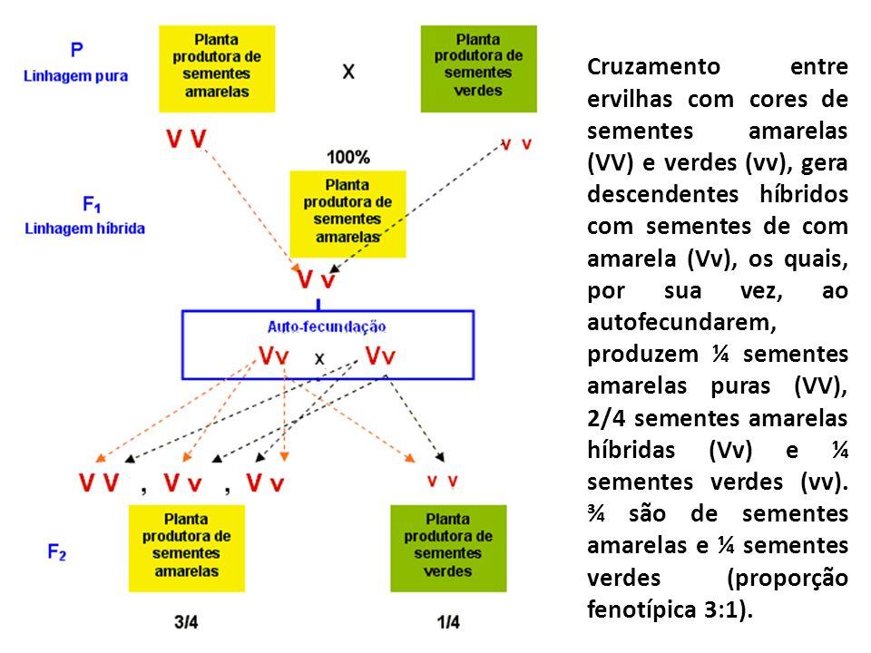 Cruzamento entre ervilhas com cores de sementes amarelas (VV) e verdes (vv), gera descendentes híbridos com sementes de com amarela (Vv), os quais, po