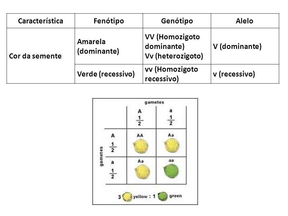 CaracterísticaFenótipoGenótipoAlelo Cor da semente Amarela (dominante) VV (Homozigoto dominante) Vv (heterozigoto) V (dominante) Verde (recessivo) vv