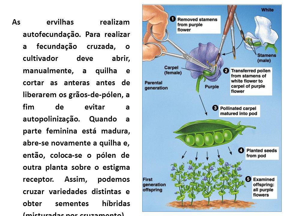 As ervilhas realizam autofecundação. Para realizar a fecundação cruzada, o cultivador deve abrir, manualmente, a quilha e cortar as anteras antes de l