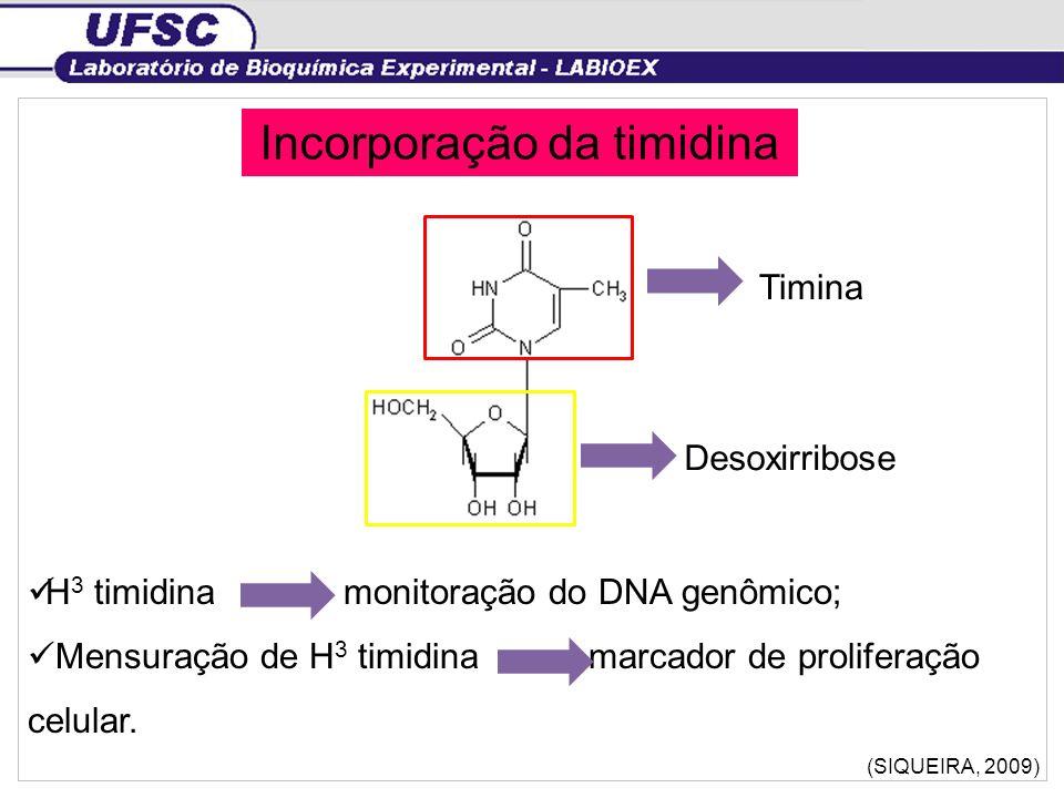 Incorporação da timidina H 3 timidina monitoração do DNA genômico; Mensuração de H 3 timidina marcador de proliferação celular. (SIQUEIRA, 2009) Timin
