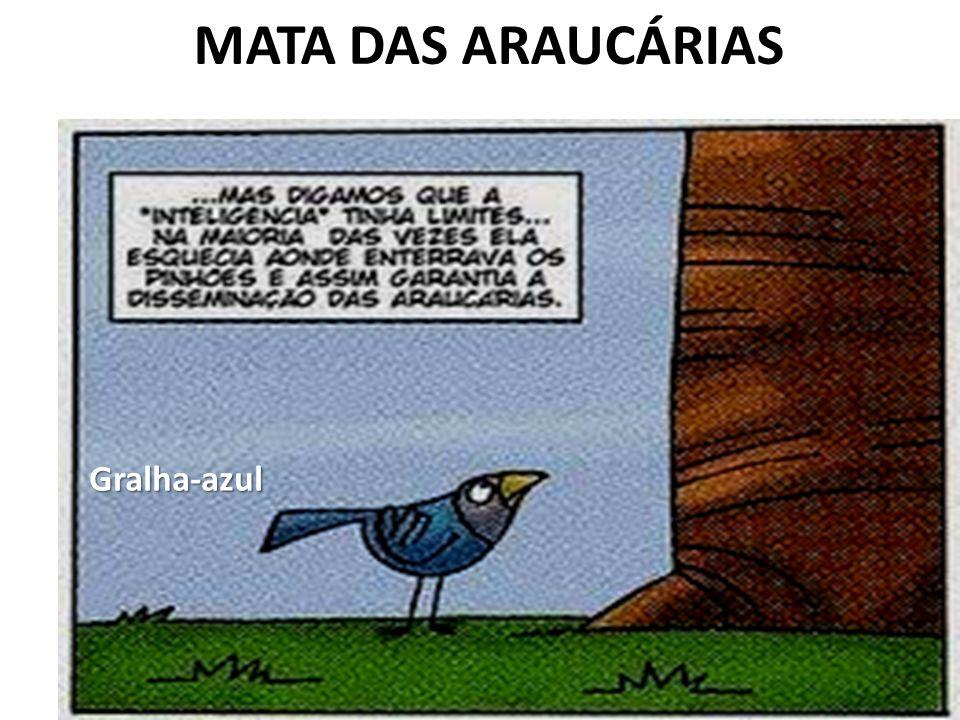 MATA DAS ARAUCÁRIASGralha-azul