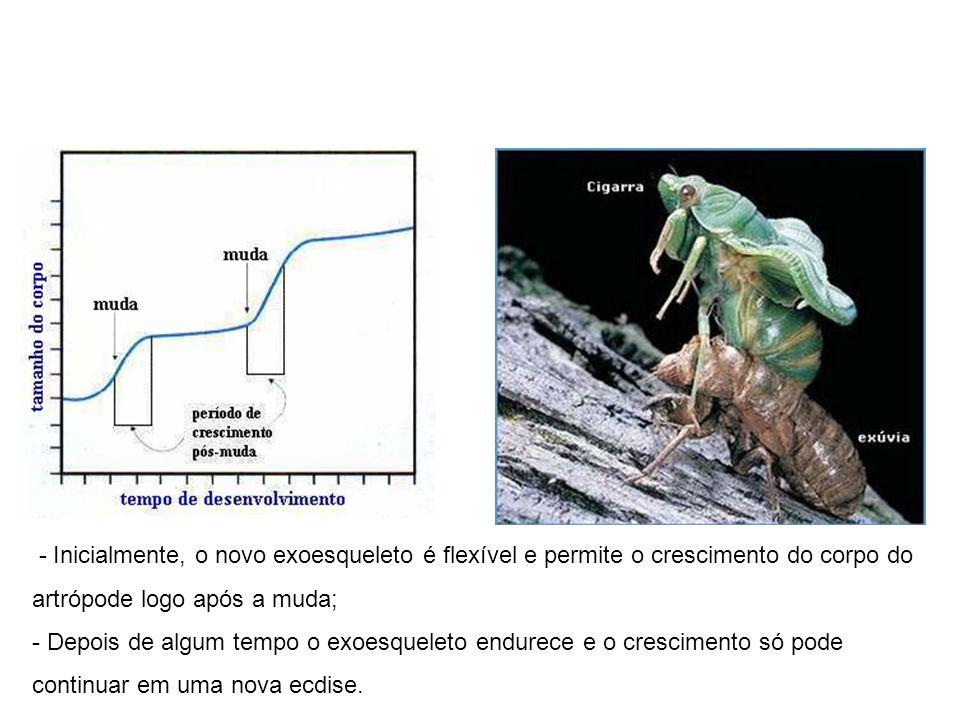 - Inicialmente, o novo exoesqueleto é flexível e permite o crescimento do corpo do artrópode logo após a muda; - Depois de algum tempo o exoesqueleto
