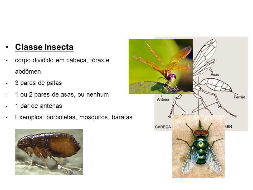 Classe Insecta -corpo dividido em cabeça, tórax e abdômen -3 pares de patas -1 ou 2 pares de asas, ou nenhum -1 par de antenas -Exemplos: borboletas, mosquitos, baratas