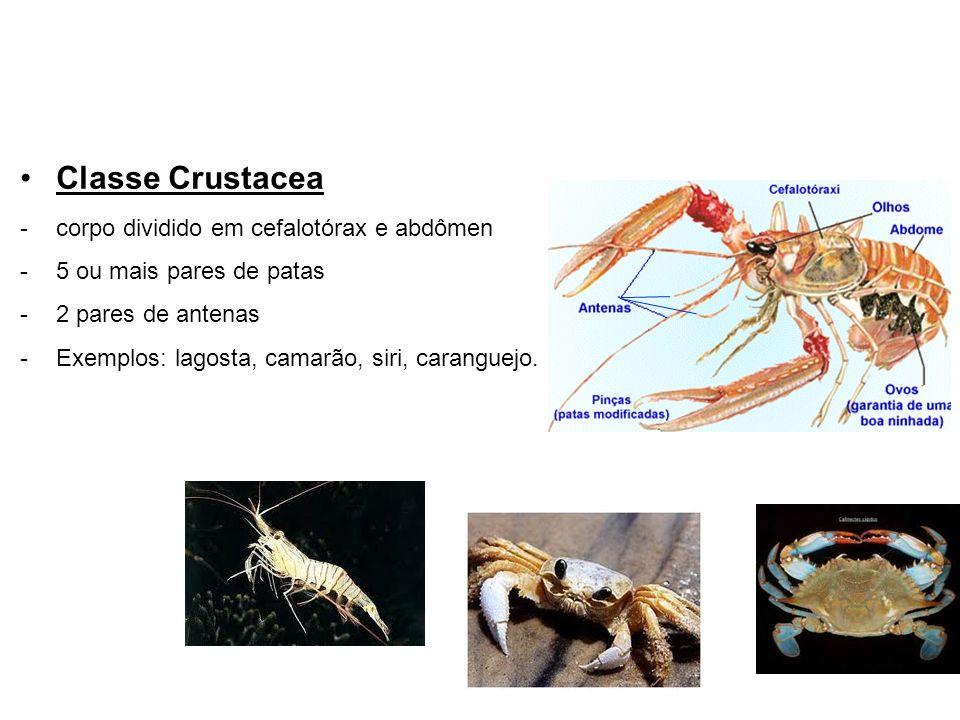 Classe Crustacea -corpo dividido em cefalotórax e abdômen -5 ou mais pares de patas -2 pares de antenas -Exemplos: lagosta, camarão, siri, caranguejo.