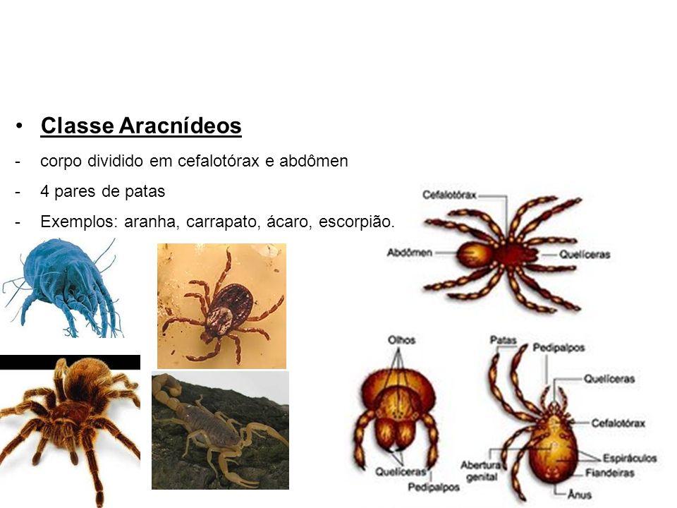 Classe Aracnídeos -corpo dividido em cefalotórax e abdômen -4 pares de patas -Exemplos: aranha, carrapato, ácaro, escorpião.