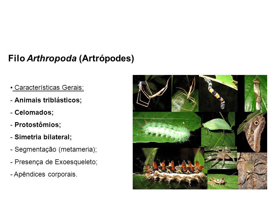 Filo Arthropoda (Artrópodes) Características Gerais: - Animais triblásticos; - Celomados; - Protostômios; - Simetria bilateral; - Segmentação (metamer