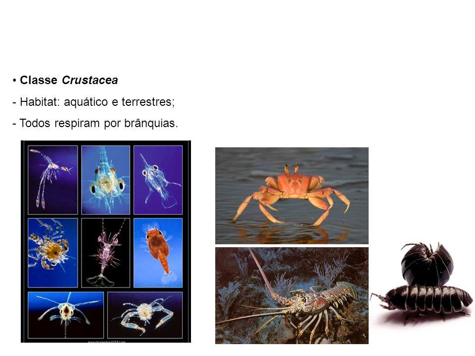 Classe Crustacea - Habitat: aquático e terrestres; - Todos respiram por brânquias.