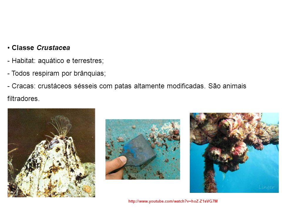 Classe Crustacea - Habitat: aquático e terrestres; - Todos respiram por brânquias; - Cracas: crustáceos sésseis com patas altamente modificadas.