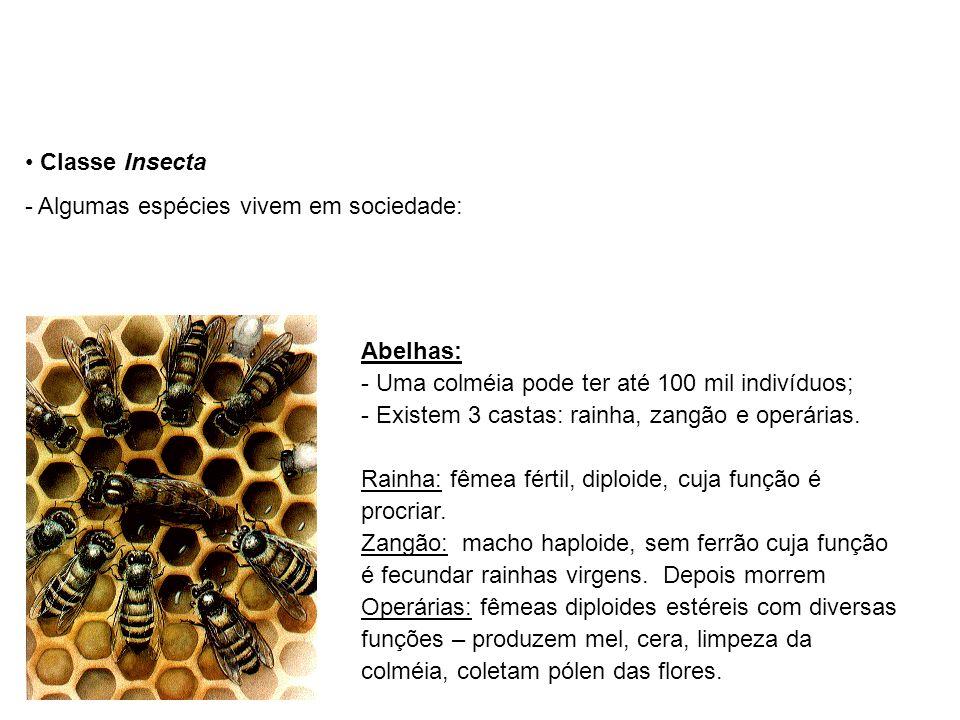Classe Insecta - Algumas espécies vivem em sociedade: Abelhas: - Uma colméia pode ter até 100 mil indivíduos; - Existem 3 castas: rainha, zangão e operárias.