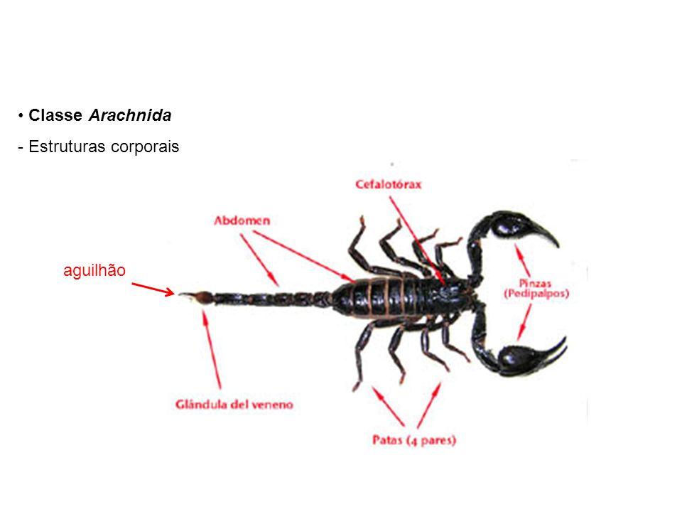 Classe Arachnida - Estruturas corporais aguilhão