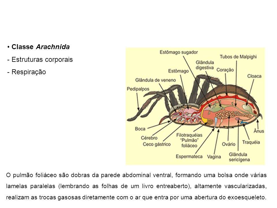 Classe Arachnida - Estruturas corporais - Respiração O pulmão foliáceo são dobras da parede abdominal ventral, formando uma bolsa onde várias lamelas paralelas (lembrando as folhas de um livro entreaberto), altamente vascularizadas, realizam as trocas gasosas diretamente com o ar que entra por uma abertura do exoesqueleto.