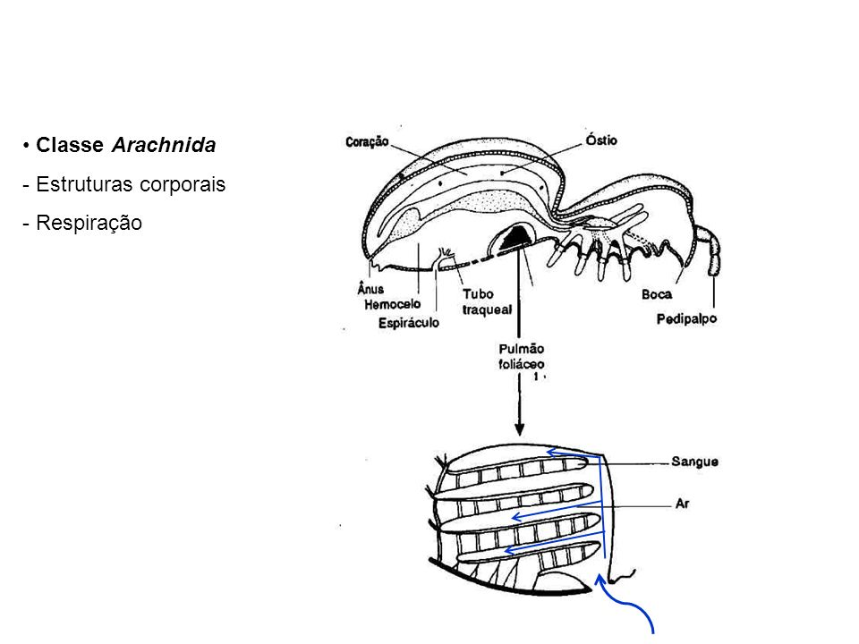 Classe Arachnida - Estruturas corporais - Respiração