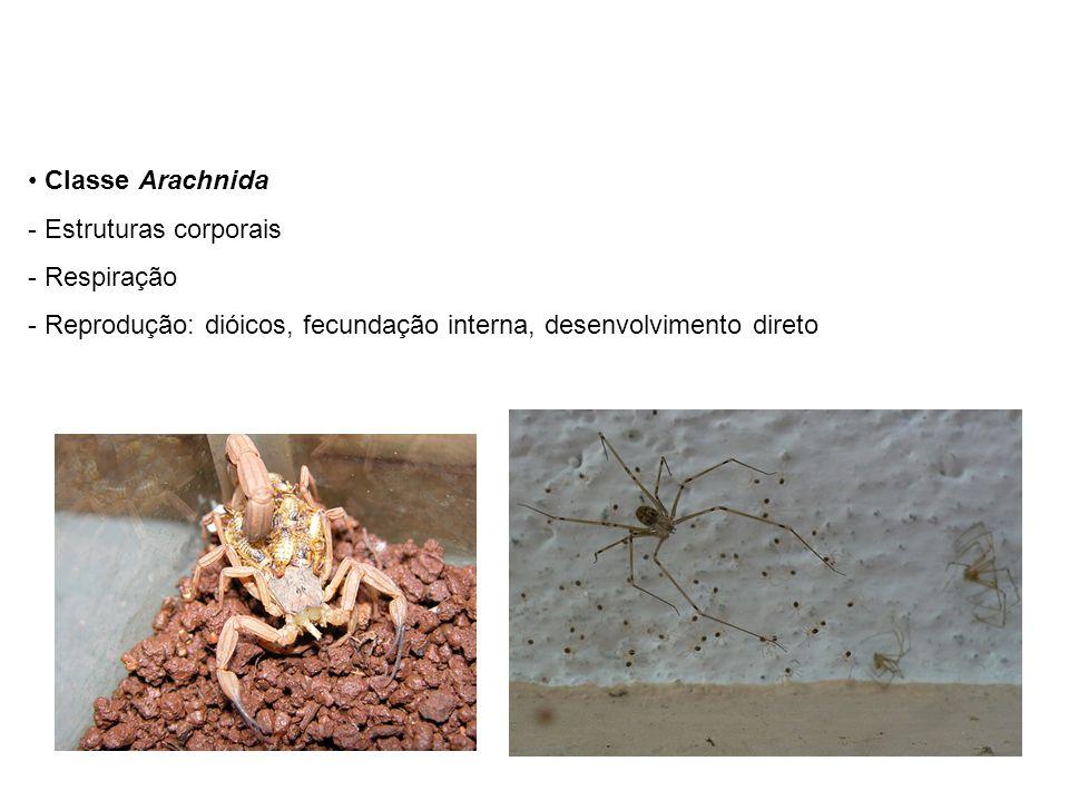 Classe Arachnida - Estruturas corporais - Respiração - Reprodução: dióicos, fecundação interna, desenvolvimento direto