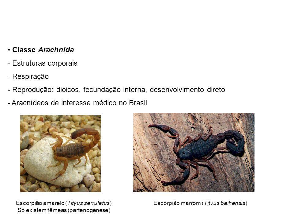 Classe Arachnida - Estruturas corporais - Respiração - Reprodução: dióicos, fecundação interna, desenvolvimento direto - Aracnídeos de interesse médico no Brasil Escorpião amarelo (Tityus serrulatus) Só existem fêmeas (partenogênese) Escorpião marrom (Tityus baihensis)