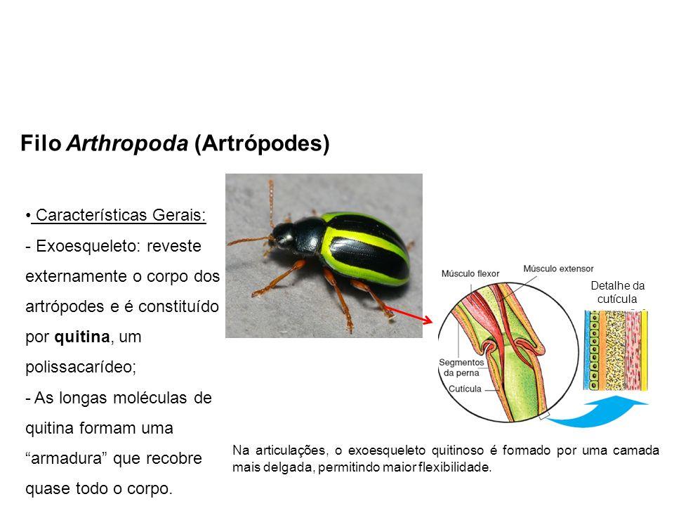 Filo Arthropoda (Artrópodes) Características Gerais: - Exoesqueleto: reveste externamente o corpo dos artrópodes e é constituído por quitina, um polissacarídeo; - As longas moléculas de quitina formam uma armadura que recobre quase todo o corpo.