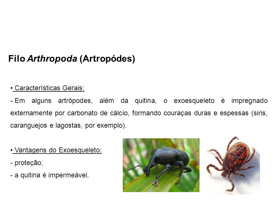 Filo Arthropoda (Artropódes) Características Gerais: - Em alguns artrópodes, além da quitina, o exoesqueleto é impregnado externamente por carbonato de cálcio, formando couraças duras e espessas (siris, caranguejos e lagostas, por exemplo).