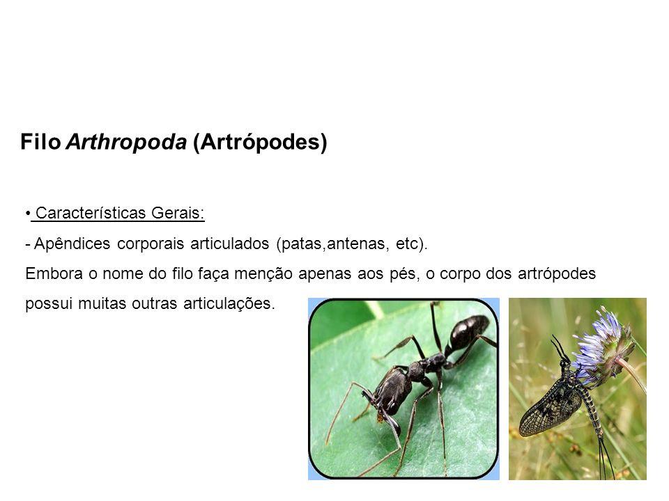 Filo Arthropoda (Artrópodes) Características Gerais: - Apêndices corporais articulados (patas,antenas, etc). Embora o nome do filo faça menção apenas