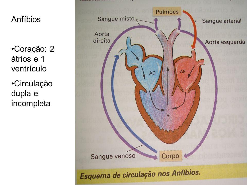 Anfíbios Coração: 2 átrios e 1 ventrículo Circulação dupla e incompleta