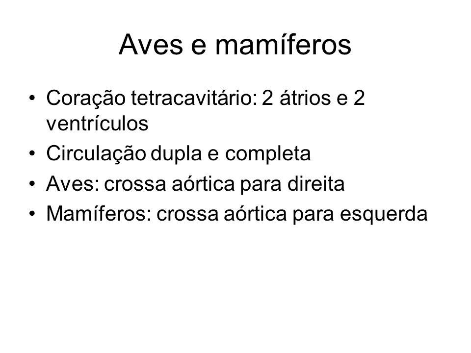 Aves e mamíferos Coração tetracavitário: 2 átrios e 2 ventrículos Circulação dupla e completa Aves: crossa aórtica para direita Mamíferos: crossa aórt