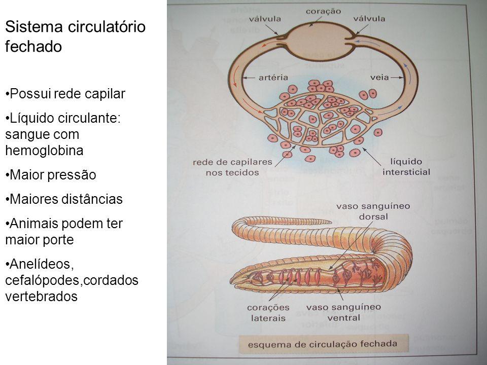 Sistema circulatório fechado Possui rede capilar Líquido circulante: sangue com hemoglobina Maior pressão Maiores distâncias Animais podem ter maior p