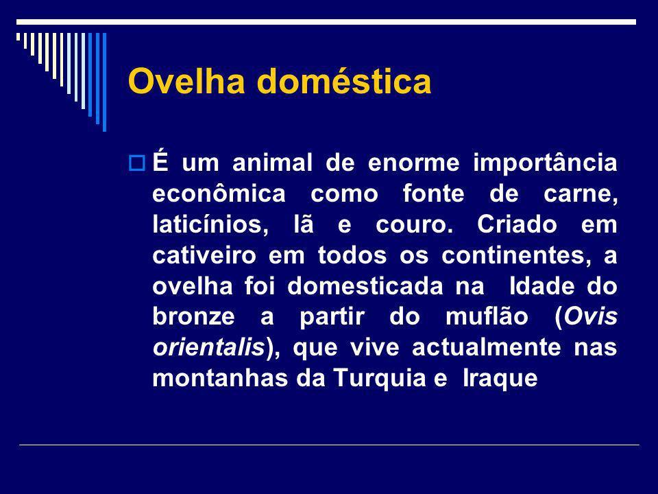 Ovelha doméstica É um animal de enorme importância econômica como fonte de carne, laticínios, lã e couro. Criado em cativeiro em todos os continentes,