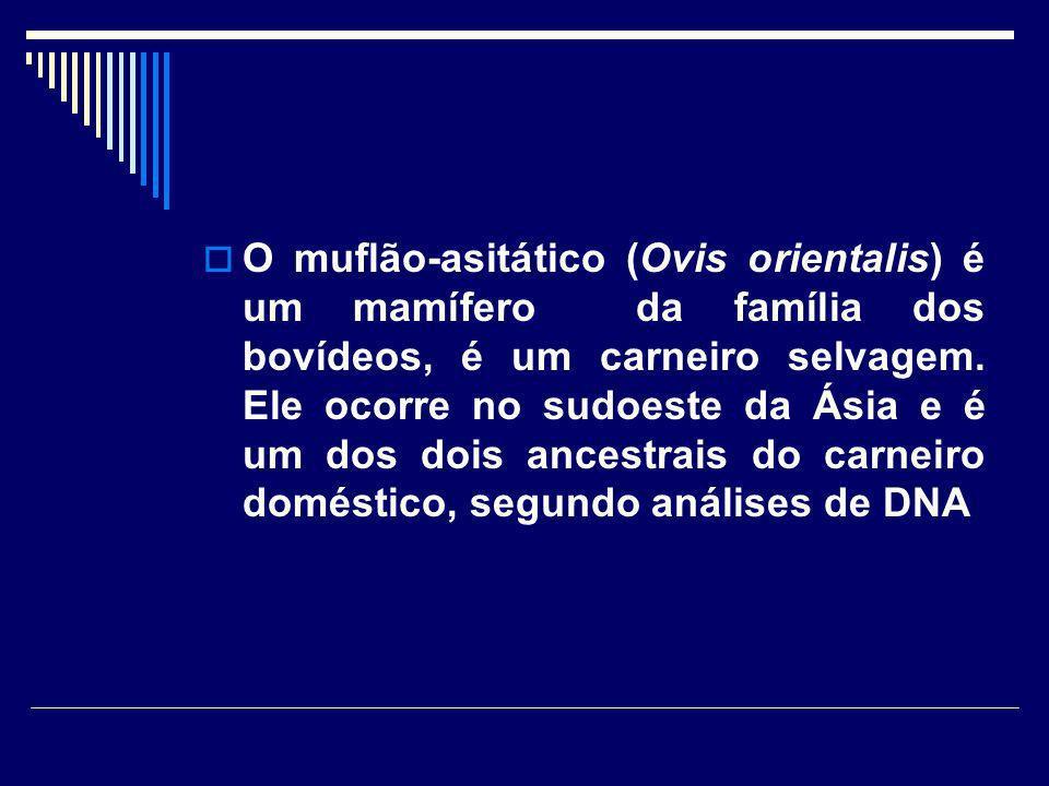 O muflão-asitático (Ovis orientalis) é um mamífero da família dos bovídeos, é um carneiro selvagem. Ele ocorre no sudoeste da Ásia e é um dos dois anc