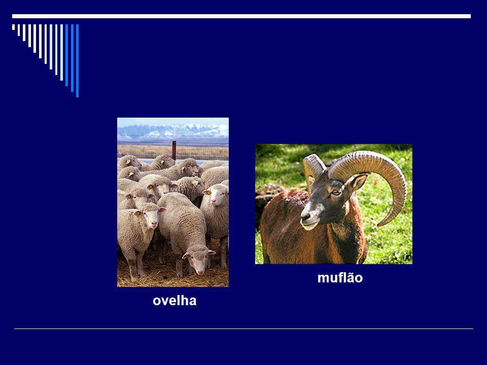 ovelha muflão