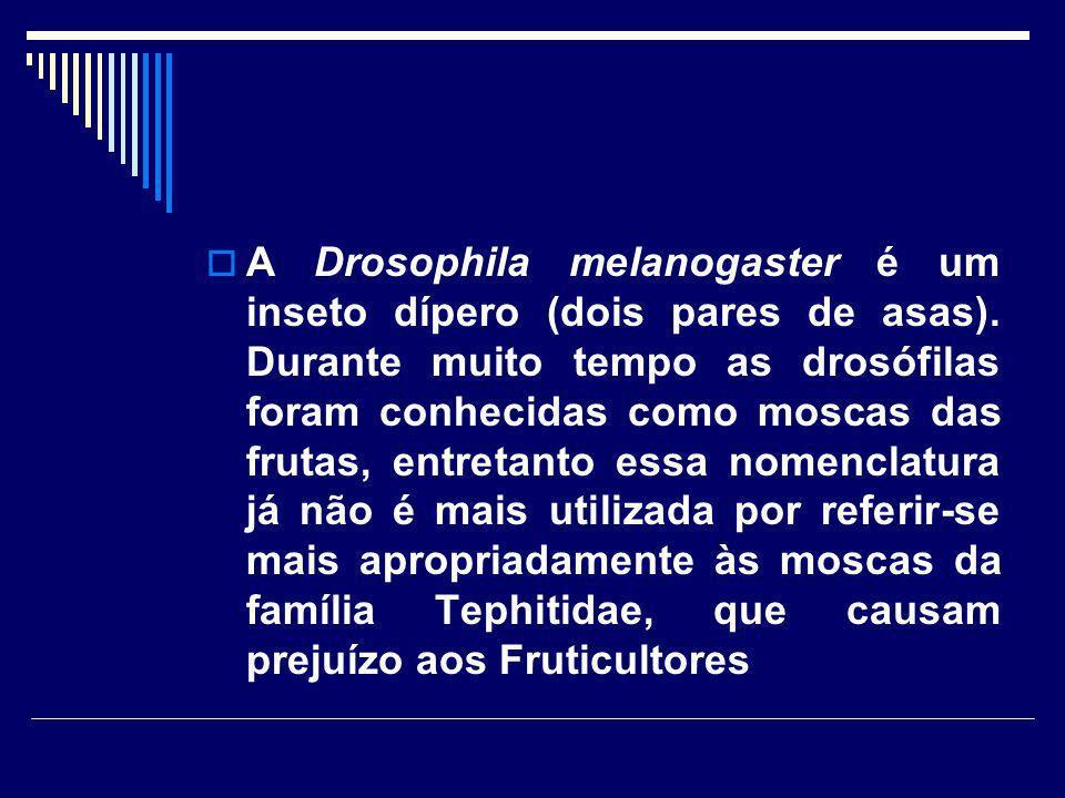 A Drosophila melanogaster é um inseto dípero (dois pares de asas). Durante muito tempo as drosófilas foram conhecidas como moscas das frutas, entretan