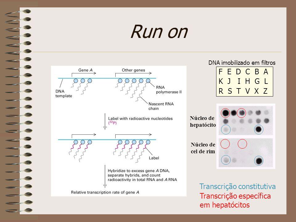 Northern blot e nuclear run on indicam regulação pós-transcricional A7 A7 A7 Núcleos isolados de: epimastigotas amastigotas mRNA levels 1 13 68 Epi Ama Amastin Tuzin