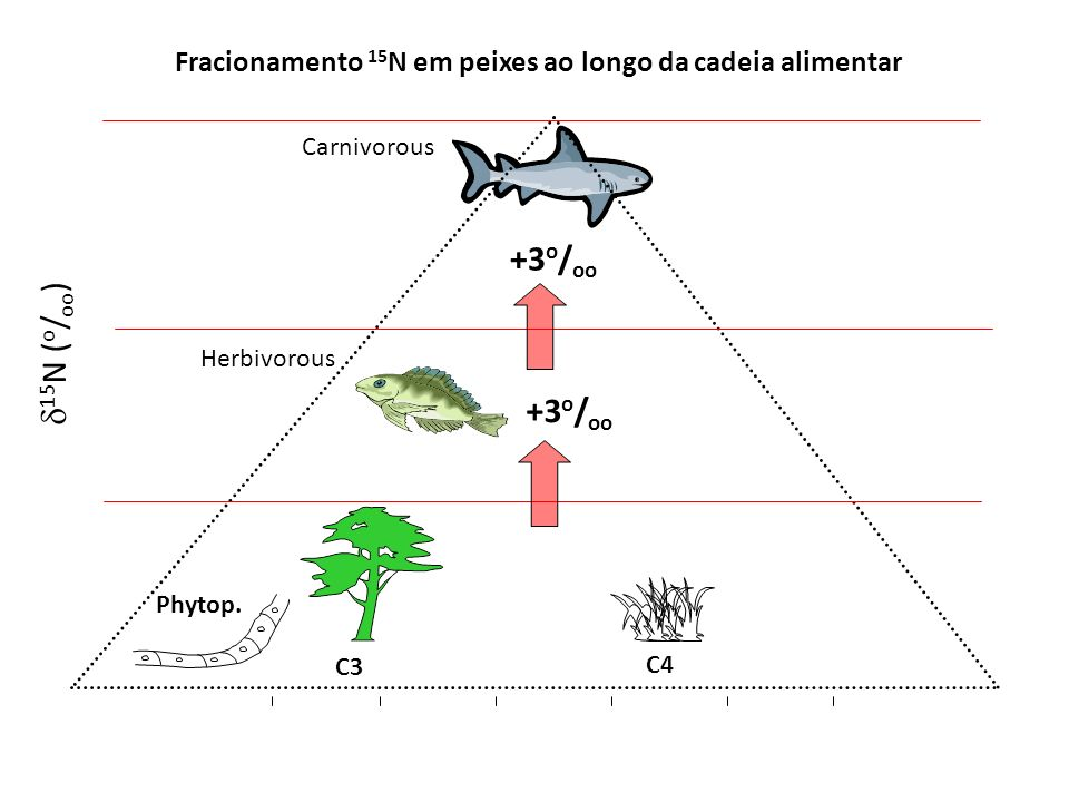 Fracionamento em peixes ao longo da cadeia alimentar N-fixing producersNon-fixing producers 6 3 9 Herbivorous Omnivorous Carnivorous 13 C( o / oo ) 15 N( o / oo ) -30 -25 -20 -15 -10